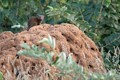 Dwarf Mongoose, Kruger National Park (HollyRuthven) Tags: krugernationalpark wildriversprivatenaturereserve mongoose mammal carnivore termites termitemound hoedspruit ontracksafaris safari nature outdoors travel wildlife wildlifephotography