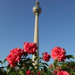 Fernsehturm hinter Rosen thumbnail