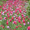 Lombard, IL, Lilacia Park, Tulip Bed (Mary Warren 10.7+ Million Views) Tags: lombardil lilaciapark garden park nature flora plants green red pink tulips