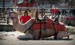 Off road vehicle (Dromedary) (RJAB2012) Tags: camel uluru australia dromedary ulurucamelraces desert ayersrock shipofthedesert racing race 100v10f trave