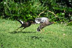 taking off (Roy.G.Levy) Tags: art artistic beautiful colorful colors d7100 landscape nikon nikond7100 nature animal nikon300mmf45edif ais myna bird birds taking off takeoff