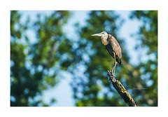 Great Blue Heron Lookout (elpeterso69) Tags: greatblueheron heronhaven dsc06101 ardeaherodias fauna wildlife nature wildbirds avian fowl waterfowl lake pond wetland aquatic omahane nebraska midwest iowa