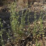 flowery bedstraw, Galium multiflorum, female plant thumbnail