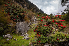 Rhododendron flowers in Chopta Valley, Lachen, Sikkim, India (CamelKW) Tags: sikkimindia2018 rhododendron flowers choptavalley lachen sikkim india