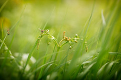Bug Life (aveyardphotography) Tags: nature bug insect green ferns grass wings fly daylight unfurl natural lift off flight