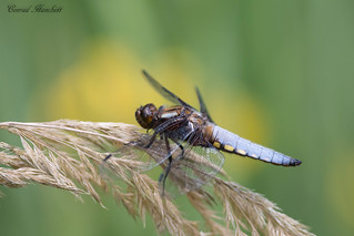 Broad-bodied chaser, Worcestershire