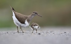 Baby Sandpiper with mommy (bilska.anna) Tags: