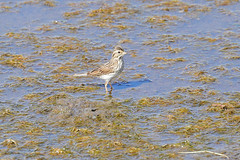 Savannah Sparrow (9094) (Bob Walker (NM)) Tags: bird water standinginwater wading losalamos newmexico usa sparrow savannahsparrow passerculussandwichensis sasp
