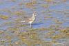 Savannah Sparrow (9094) (Bob Walker (NM)) Tags: bird water standinginwater wading losalamos newmexico usa sparrow savannahsparrow passerculussandwichensis sasp