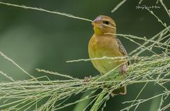 The Yellowhammer (melvhsc100) Tags: bird nature wildlife green park garden grass yellowbird goiden bokeh tampinesecopark singaporenicescenery nikon7200 tamron150600mm