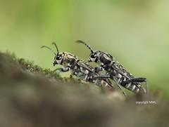Xylotrechus = Rusticoclytus pre-mating (Phil Arachno) Tags: germany hessen deutschland coleoptera insecta arthropoda beetle käfer cerambycidae