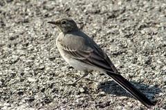 Bachstelze juv. (planetvielfalt) Tags: aves motacillidae passeriformes rhön bayern deutschland
