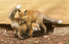 IMGL1446 Pugwash Red Fox Kit(s) (Wallace River) Tags: foxes novascotia pugwashfoxes redfoxes