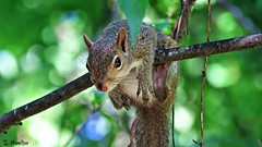 Hang In There!! (Suzanham) Tags: squirrel tree animal mississippi rodent nature wildlife