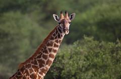 Giraffe (ashockenberry) Tags: giraffe tanzania africa ashleyhockenberryphotography african safari savanna park game nature naturephotography national natural wildlife wildlifephotography wild wilderness grazing browsing tarangire