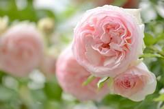 "rose, ""Pierre de Ronsard"" (snowshoe hare*) Tags: flower flowers pierrederonsard dsc0569 ピエール・ド・ロンサール バラ dsc1569 frenchrose kyoto 近所 neighborhood"