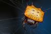 Isoxya sp Box Kite Spider - Gorongosa National Park, Mozambique (Thomas Shahan 3) Tags: pentax gorongosa mozambique bugshot workshop africa k3 macro macrophotography vivitar 55mm teleconverter entomology arthropod wildlife
