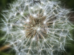Fuegos artificiales - Fireworks (danielfi) Tags: diente leon dandelion plant planta naturaleza nature macro macrofotografía ngc flower flor