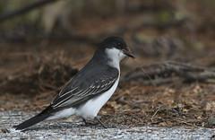 A Kingbird Nesting (rivadock4) Tags: kingbird tyrant flycatcher
