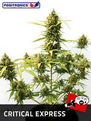 Critical_Express_56f8140f676fc (Watcher1999) Tags: cannabis california medical marijuana seeds bob marley growing weed smoking ganja legalize it reggae