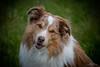 Jordan (Peet de Rouw) Tags: jordan dog bordercollie redmerle pet portrait peetderouw denachtdienst