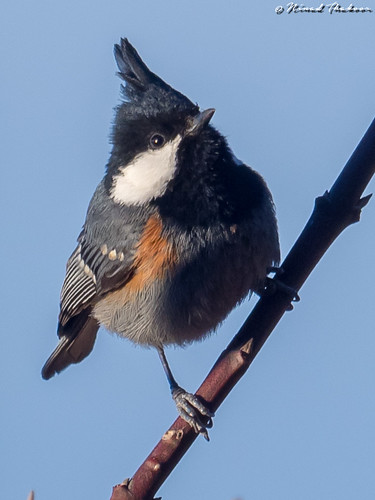 """Coal Tit (Lifer) • <a style=""""font-size:0.8em;"""" href=""""http://www.flickr.com/photos/59465790@N04/42676708032/"""" target=""""_blank"""">View on Flickr</a>"""