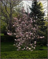 Magnolias are always a wonder (Felip1) Tags: 1866219a