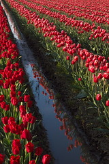 Skagit Valley Tulip Festival 2018 (Aneonrib) Tags: skagit valley tulip festival 2018 tulips flowers mount vernon wa sun april roozengaarde annual spring northwest county washington state landscape field flowrbed plant outdoor panasonic lumix red reflection