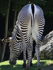 Un zèbre [Explored June 9, 2018] (Hélène_D) Tags: hélèned france centre centrevaldeloire loiretcher saintaignan staignan zooparcdebeauval zoodebeauval beauval zoo animal zèbre zebra