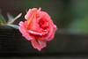 after it rains (Yutaka Seki) Tags: rose rosa wet raindrops rain chuva lluvia flower pink pancolar50mmf18 wideopen vintageglass niftyfifty bokeh smooth colourful colorful pretty soft petals beauty beautiful