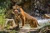 Los Angeles Zoo - Sumatran Tiger (GMLSKIS) Tags: nikond750 california losangeles zoo sumatrantiger
