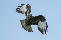 Buzzard - A brute of a bird (Ann and Chris) Tags: hawk buzzard bird birdphotography canon7dmarkii wildlife wild raptor avian nature sky flying birdofprey