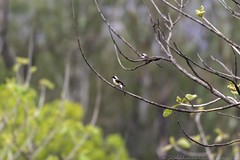 20180602-0I7A5793 (siddharthx) Tags: 7dmkii ananthagiri ananthagiriforest ananthagiriforestrange bird birdwatching birding birdsinthewild birdsofindia birdsoftelangana canon canon7dmkii cottoncarrierg3 ef100400f4556isii ef100400mmf4556lisiiusm forest goldenhour jungle landscape monsoon muddy nature rain rains telangana tree trees vikarabad wet wild wildbirds wildlife longtailedshrike shrike baybackedshrike burgupalle india in rufousbackedshrike