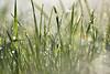 Dans l'herbe mouillée (Excalibur67) Tags: nikon d750 sigma contemporary globalvision paysage landscape prairie eaux gouttedeau perle 100400f563dgoshsmc perledepluie herbe
