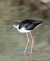 Black-Necked Stilt (Ed Sivon) Tags: america canon nature wildlife wild western water southwest desert clark county vegas bird flickr henderson shorebird nevada preserve