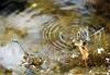 Duo + duo = Quatuor d'Agrions :-)) (jean-daniel david) Tags: insecte insectevolant duo demoiselle agrion réservenaturelle reflet eau étang libellule grandecariçaie lac lacdeneuchâtel yverdonlesbains cheseauxnoreaz suisse suisseromande vaud bleu vert accouplement