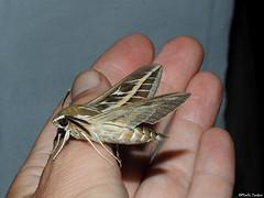 Striped hawk-moth (Geminiature Nature+Landscape Photography Mallorca) Tags: stripedhawkmoth hyleslivornica hyles livornica sphingidae mot pollila mariposa nachtvlinder nachtmot gestreeptepijlstaart pijlstaart esfinge esfingerayada big grande groot grote mallorca