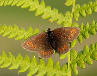 Mountain Ringlet Erebia epiphron