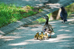 Duck with ducklings on our backyard and street. (Valery_RW) Tags: winnipeg manitoba canada duck street bay