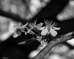Black & White Flower Stems (that_damn_duck) Tags: nikon blackwhite monochrome nature flower stems petals blossom blooming springtime tree treebranch bw blackandwhite