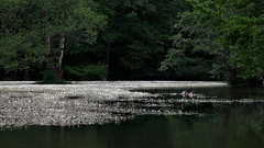 idyll (bkellerstrass) Tags: river blossoms goose water trees spring nature