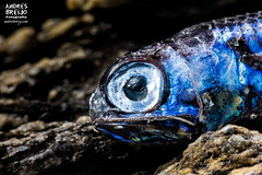 La naturaleza nos mira mal (Andres Breijo http://andresbreijo.com) Tags: pez pescado fish animal naturaleza nature ecologia ecology retrato