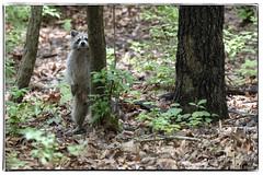 Raccoon Watching Back (dkangel) Tags: raccoon hide cute