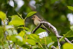 Pacific-slope Flycatcher (R Hardy) Tags: vancouverisland spiderlakesprings flycatcher pacificslopeflycatcher