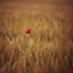 Fuego lento (una cierta mirada) Tags: flower poppy nature agriculture gold red summer summertime