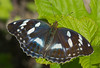 Argynnis sagana - female (mishko2007) Tags: argynnissagana damorasagana korea 105mmf28