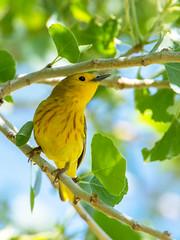 Yellow Warbler (Ed Sivon) Tags: america canon nature lasvegas wildlife wild western warbler southwest desert clarkcounty clark county vegas bird henderson nevada