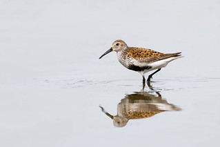 Dunlin - Breeding Plumage