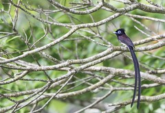 Japanese Paradise flycatcher and loads of branches. (okiox) Tags: terpsiphone atrocaudata japanese paradise flycatcher bird avian animal japan okinawa summer branches tree yanbau nikon tamron100400 blue eye long tail