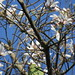 Bauhinia variegata